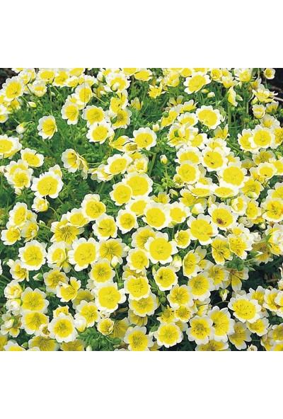 E-fidancim İspanyol Omleti Çiçeği Tohumu(50 tohum)