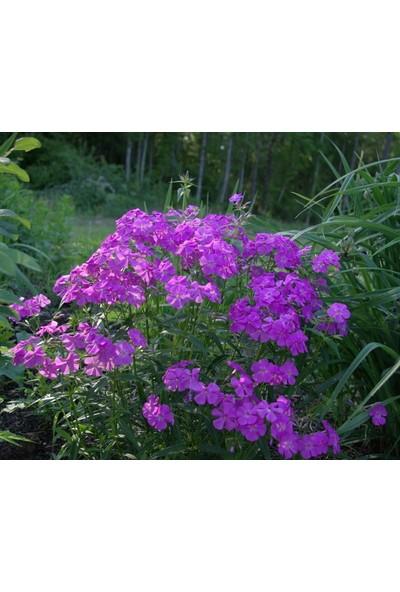 E-fidancim Marsh Phlox Çiçeği Tohumu(5 tohum)