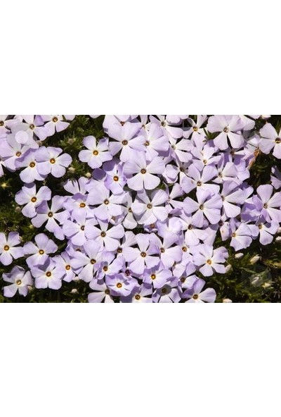 E-fidancim Mountain Floks(Alev) Çiçeği Tohumu(200 tohum)