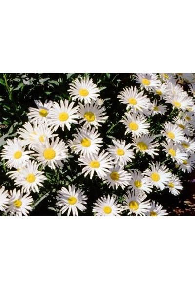 E-fidancim Bodur Gümüş Prenses Papatyaa Çiçeği Tohumu(100tohum)