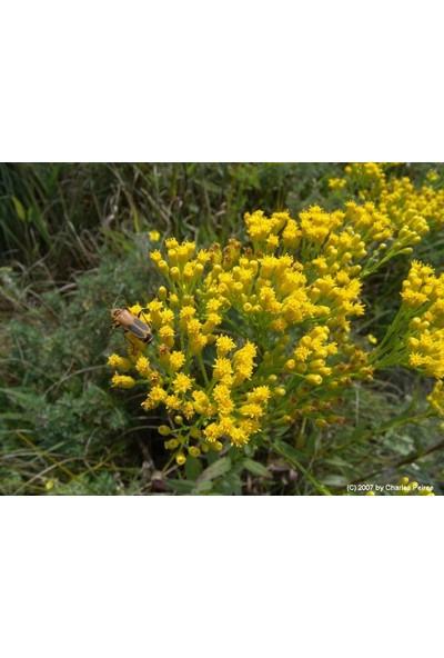 E-fidancim Solidago Çiçeği Tohumu(100 tohum)