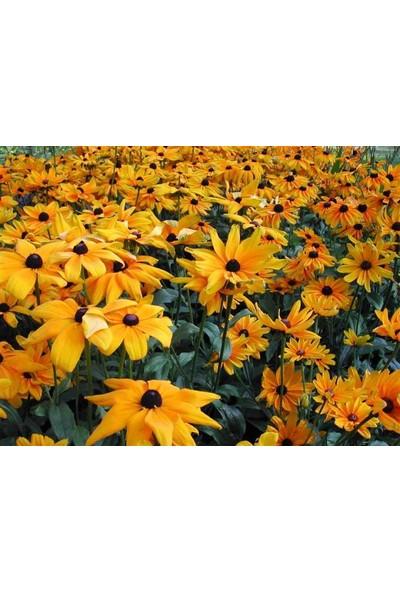 E-fidancim Kahverengil Gözlü Rıdbekya Çiçeği Tohumu(100 tohum)