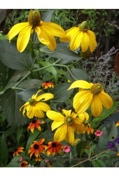 E-fidancim Nadir Golden Elegance Rudbekya Çiçeği Tohumu(50 tohum)