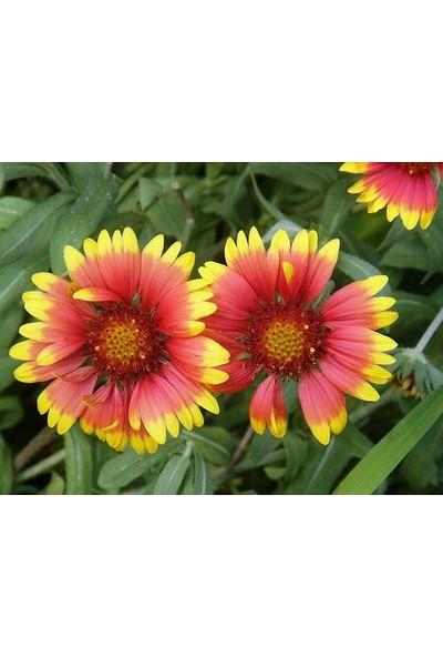 E-fidancim İndian Blanket Gaillardia Gayret Çiçeği Tohumu(30 adet)