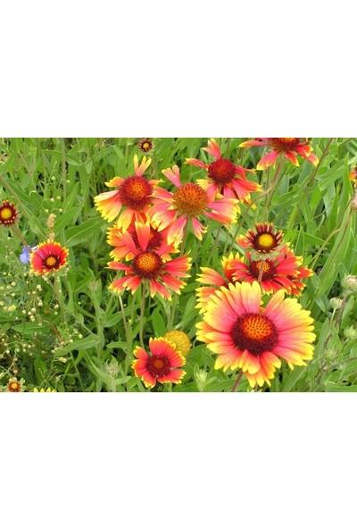 E-fidancim Ateştopu Gaillardiaaristata Gayret Çiçeği Tohumu(30 adet)