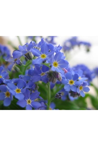 E-fidancim Mavi Renkli Beni Unutma Çiçeği Tohumu(100 adet)