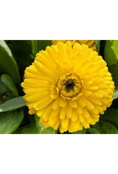 E-fidancim Bon Bon Sarısı Aynısafa Çiçeği Tohumu(50 tohum)