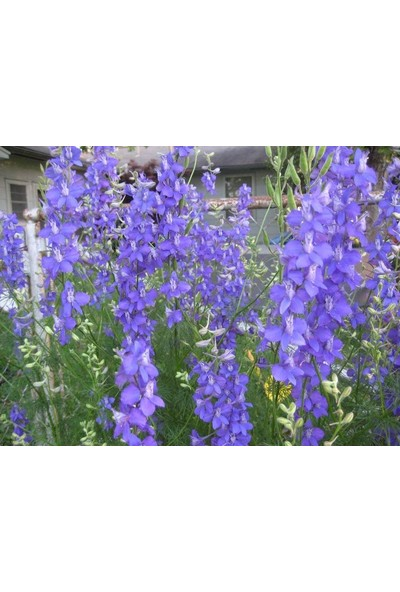 E-fidancim Blue Spike Delphinium (Hezaren) Çiçeği Tohumu(50 tohum)