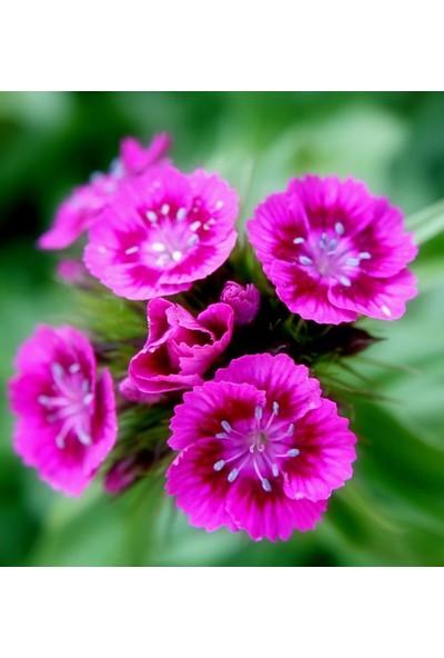 E-fidancim Lila Sweet William Dianthus Barbadus Çiçeği Tohumu(50 adet)