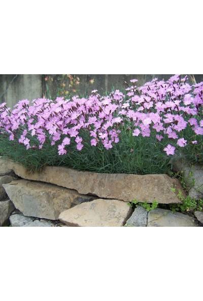 E-fidancim Dianthus Kır Pembesi Çiçeği Tohumu(50 adet)