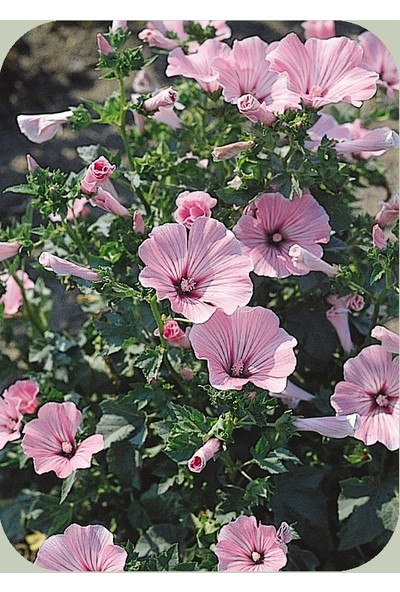 E-fidancim Rosea Mallow Hibiscus Çiçeği Tohumu(10 tohum)