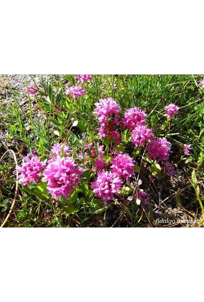 E-fidancim Lila Renkli Plectritis Çiçeği Tohumu(100 tohum)