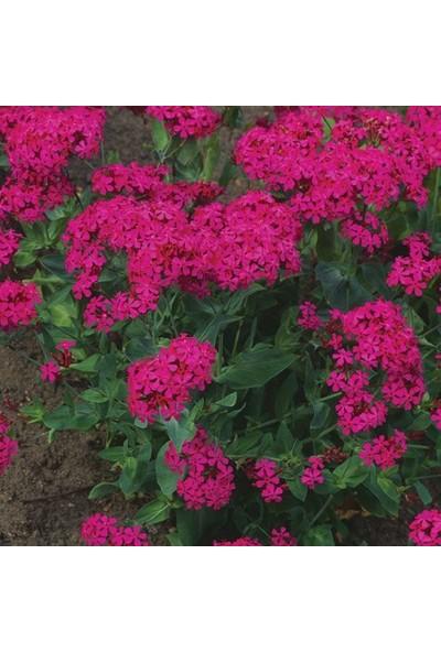 E-fidancim Çingene Pembesi Silene Çiçeği(Nakil Çiçeği) Tohumu(1000 tohum)
