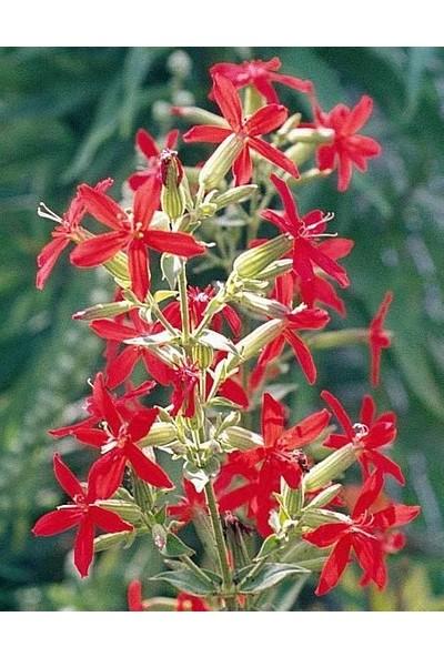 E-fidancim Nadir Kırmızı Şapka Silene(Nakil) Çiçeği Tohumu(20 tohum)