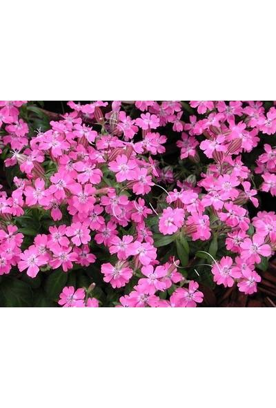 E-fidancim Kır Güzeli Silene(Nakil) Çiçeği Tohumu(100 tohum)