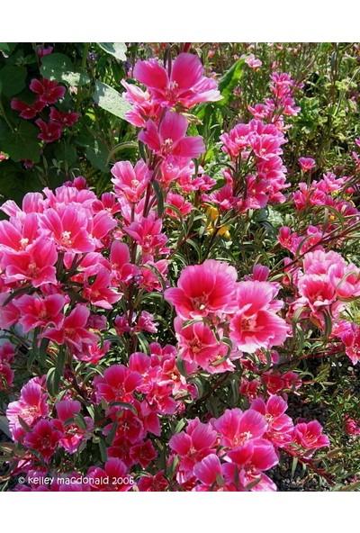 E-fidancim Pembe Güzeli Klarkiya Çiçeği Tohumu(100 tohum)
