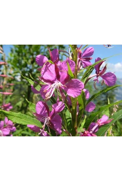 E-fidancim Elegant Klarkiya Çiçeği Tohumu(100 tohum)