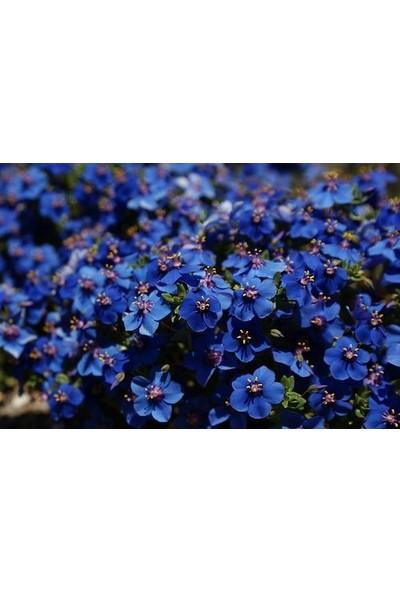 E-fidancim Mavi Anagallis Çiçeği Tohumu(100 tohum)