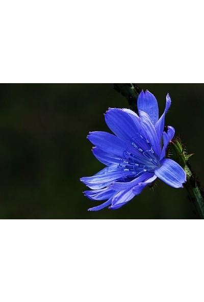 E-fidancim Mavi Yabani Hindiba Çiçeği Tohumu(100 adet)