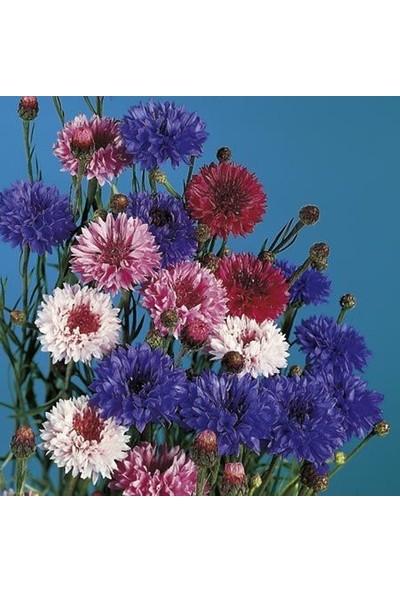 E-fidancim Uzun Boylu Karışık Renkli Peygamber Çiçeği Tohumu(50 adet)