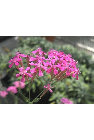 E-fidancim Lila Renkli Silene Nakil Çiçeği Tohumu(50 tohum)