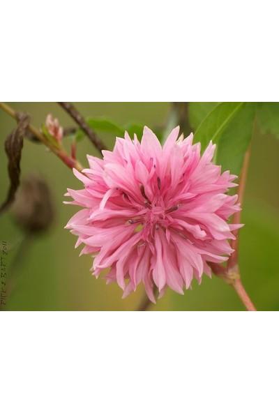 E-fidancim Uzun Boylu Pembe Güzeli Peygamber Çiçeği Tohumu(50 tohum)