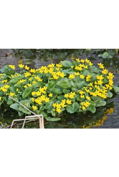 E-fidancim Özel Bodur Yellow Beauty Kadife Çiçeği Tohumu(20 tohum)