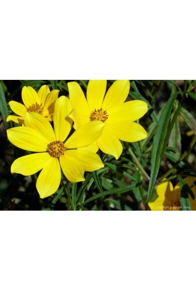 E-fidancim Nadir Uzun Boylu Sarı Kadife Çiçeği Tohumu(50 tohum)