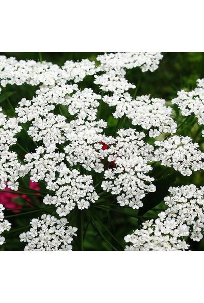 E-fidancim Büyük Diş Otu(Yalancı Diş Otu)Ammi Majus Çiçeği Tohumu(20 tohum)
