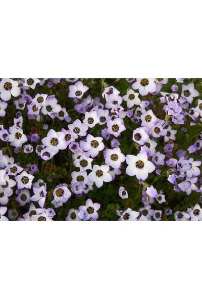 E-fidancim Üç Renkli Kuş Gözü Gilia (Gilya) Çiçeği Tohumu(100 tohum)