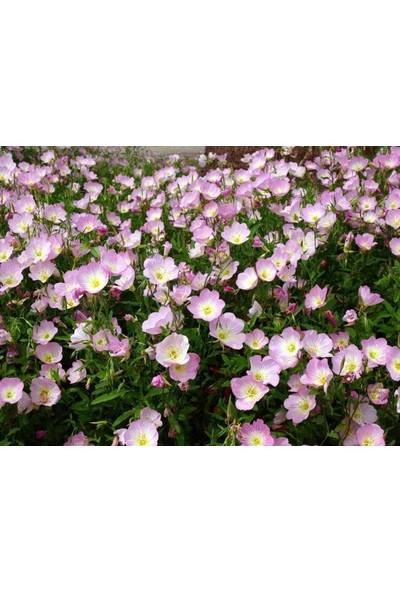 E-fidancim Royal King Çuha Çiçeği tohumu(50 tohum)