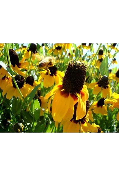 E-fidancim Golden Rudbekya(Rudbeckia)Güneş Şapkası Çiçeği Tohumu(100 tohum)