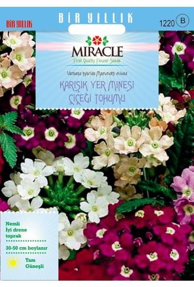 Miracle Tohum Miracle Karışık Renkli Yer Minesi (Verbena) Çiçeği Tohumu (100 tohum)