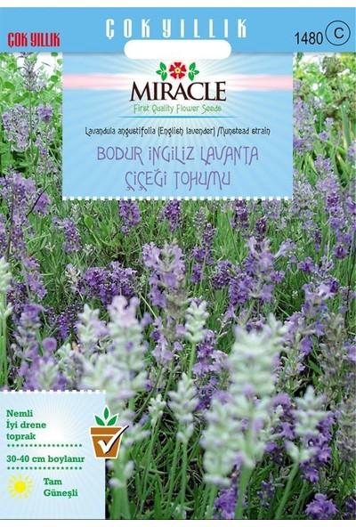 Miracle Tohum Miracle Munstead Strain Bodur İngiliz Lavanta Çiçeği Tohumu (95 tohum)