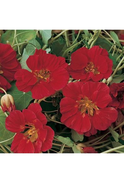 E-fidancim Lüle Latin Çiçeği Tohumu (10 tohum)