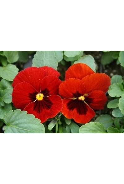 E-fidancim Kırmızı Dev Hercai Menekşe Çiçeği (50 tohum)