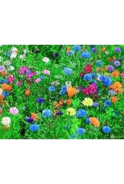 E-fidancim Yıllık Seçilmiş Japon Çiçekler Tohumu(500 tohum)