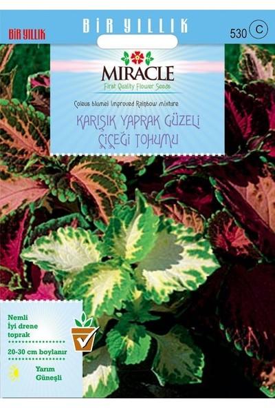 Miracle Tohum Miracle Karışık Renkli Kolyos (Coleus) Yaprak Güzeli Çiçeği Tohumu(700 tohum)