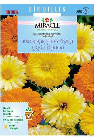 Miracle Tohum Miracle Karışık Renkli Bodur Aynısafa Çiçeği Tohumu (Gitana Mixed) (150 TOHUM)