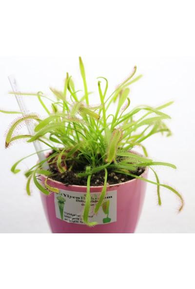 Etobur Bitkim Canlı Saksıda Dikili Drosera Capensis Güneş Gülü Sinek Kapan Bitkisi