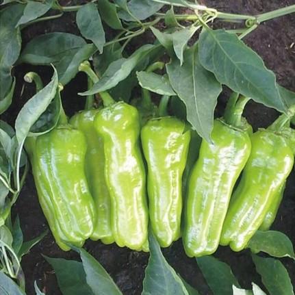 Tatlı biber: Tohumlardan meyve yetiştiriciliği ve bakımı