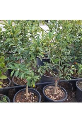 Berke Fidancılık Meyveli Kamkat (Saksılı) 60-85 Cm Aşılı 5 Yaş