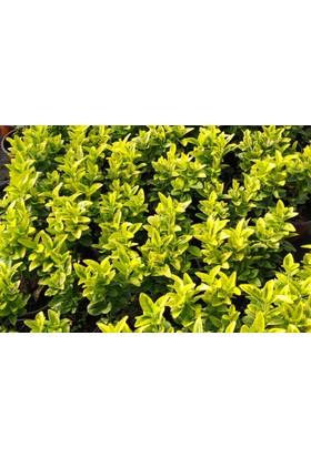Tunç Botani̇k Gold Taflan - Sarı Çit Bitkisi 50 Adet