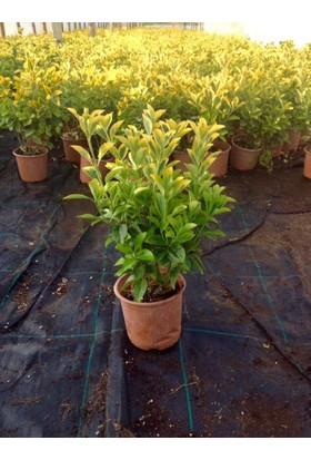 Tunç Botani̇k Gold Taflan - Sarı Çit Bitkisi 20 Adet