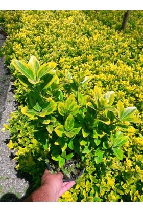 Tunç Botani̇k Gold Taflan - Sarı Çit Bitkisi 150 Adet