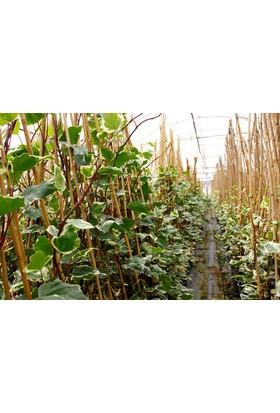 Tunç Botani̇k Hedera Orman Sarmaşığı - Yeşil Alacalı Sarılıcı Bitki 5 Adet