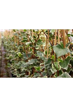 Tunç Botani̇k Hedera Orman Sarmaşığı - Yeşil Alacalı Sarılıcı Bitki 10 Adet