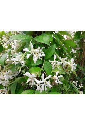 Tunç BotanikDev Arap Yasemini - Çiçek Açan Sarılıcı Bitki 2.5 - 3 Metre