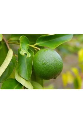 Fidan Burada Misket Limon Fidanı ( Lime - Laym Limon)