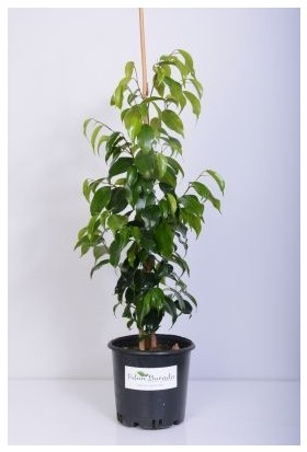 Fidan Burada Benjamin Bitkisi (Ficus Benjamina) Mini Boy